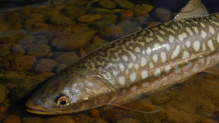 Kundcha propia del Río Kuchtui