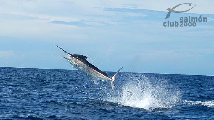 Pez Vela en el Mar Caribe del Golfo de Chiriquí