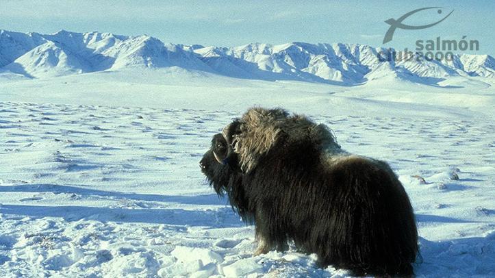 Buey Almizclero en el sur de Groenlandia