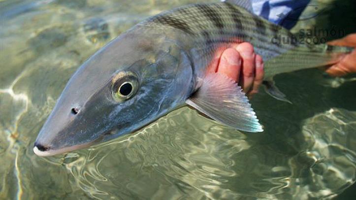 Pesca del Macabí con Bair´s Lodge, isla de South Andros, Bahamas