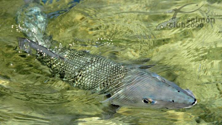 Pesca del Macabí con Abaco Lodge, Bahamas