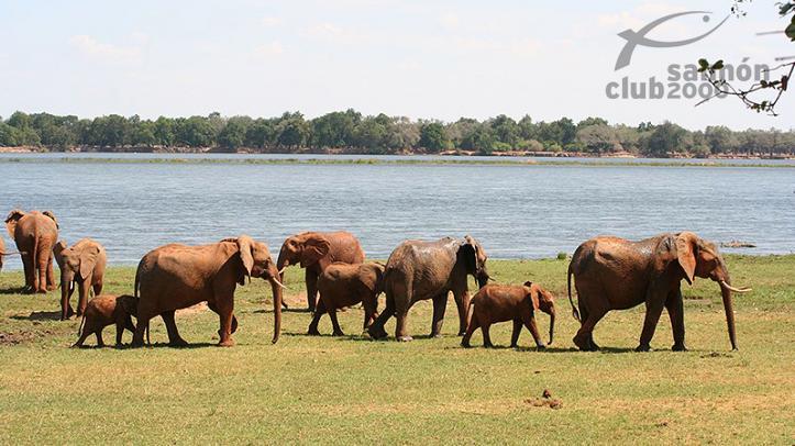 Elefantes del Parque Nacional Lower Zambezi. Royal Zambezi Lodge.
