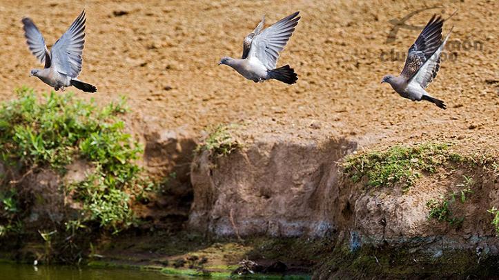 Caza de palomas silvestres ó Pigeon en Montaraz Lodge, Provincia de Córdoba, Argentina.