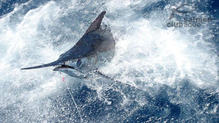 Captura de un Marlin AZul de más de 200 kilos.