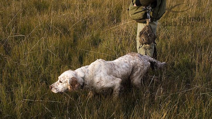 Setter inglés utilizado en la caza de perdices del Hasparren Lodge, Provincia de Río Negro, Uruguay.