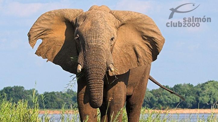 Elefante del P.N. Lower Zambezi. Royal Zambezi Lodge.