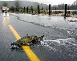 Vídeo salmones cruzando la carretera